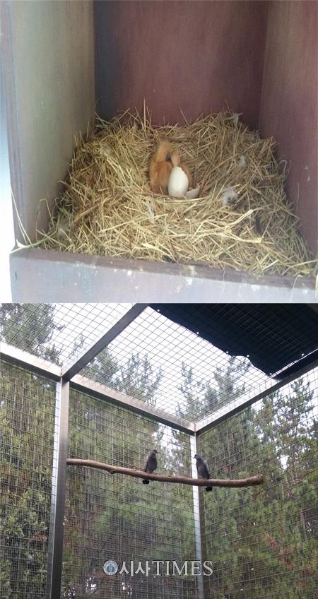 환경부, 멸종위기종 텃새 양비둘기 2마리 번식 성공